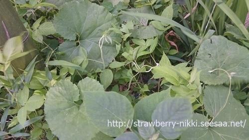 strawberry-nikki.seesaa.net蕗山蕗.jpg